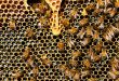 Nema pomora pčela u BiH