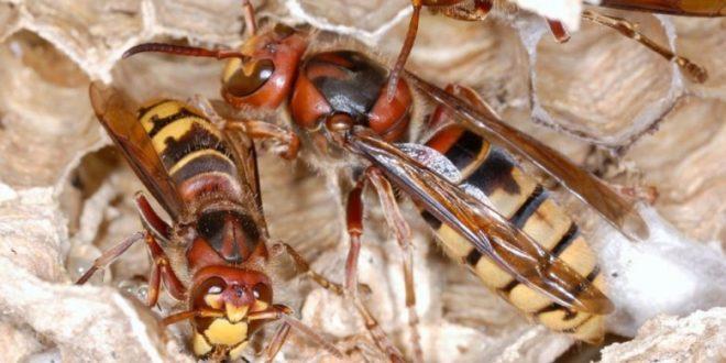 JEZIVA SCENA U DALMACIJI: Poznati pčelar snimio najezdu STRŠLJENA, ušao je u prostoriju, a onda su…